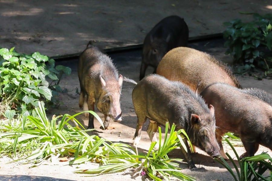 Дикие кабанчики в зоопарке Кхао Кхео