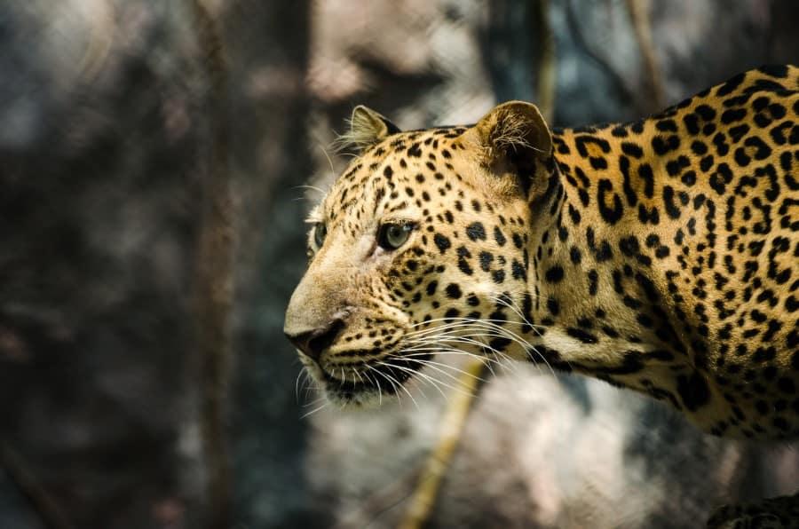 Леопард в зоне хищников в Сафари-парке в Бангкоке