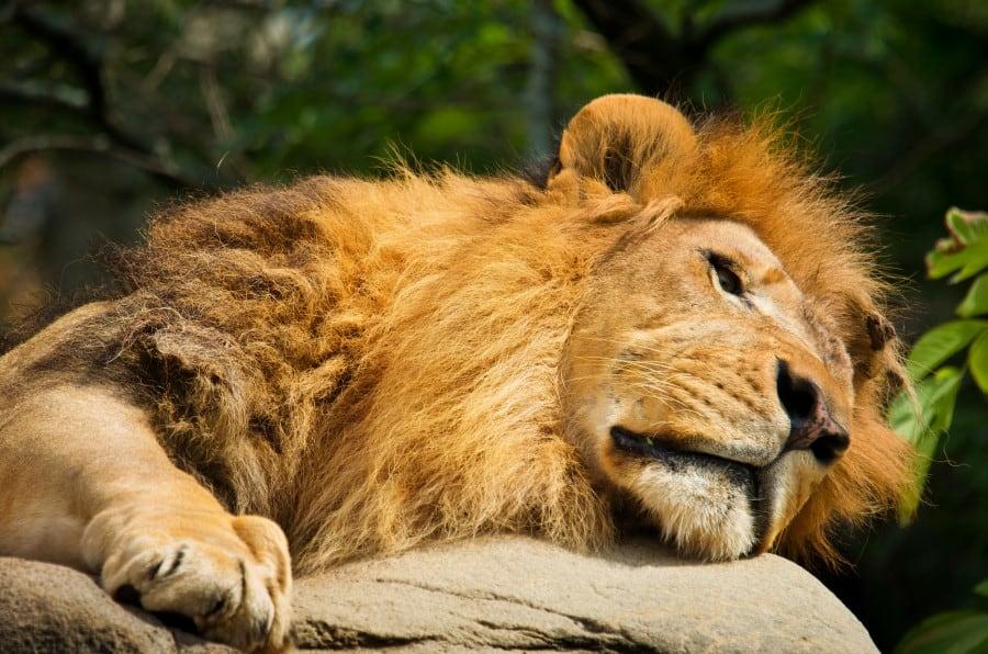 Лев в зоопарке Антверпена