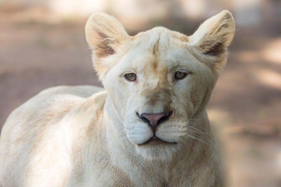 Львица в зоопарке Кхао Кхео