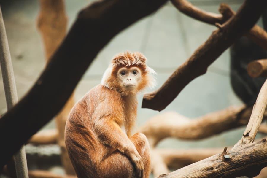 Обезьяна в зоопарке Антверпена