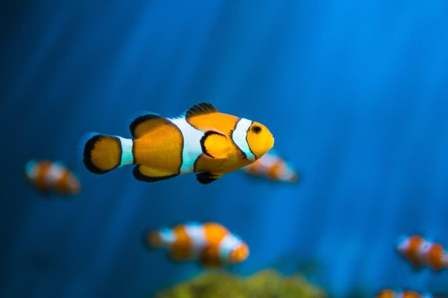 Рыба-клоун в океанариуме Бангкока