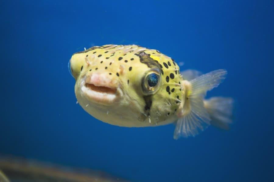 Желтая рыба в аквариуме океанариума Бангкока