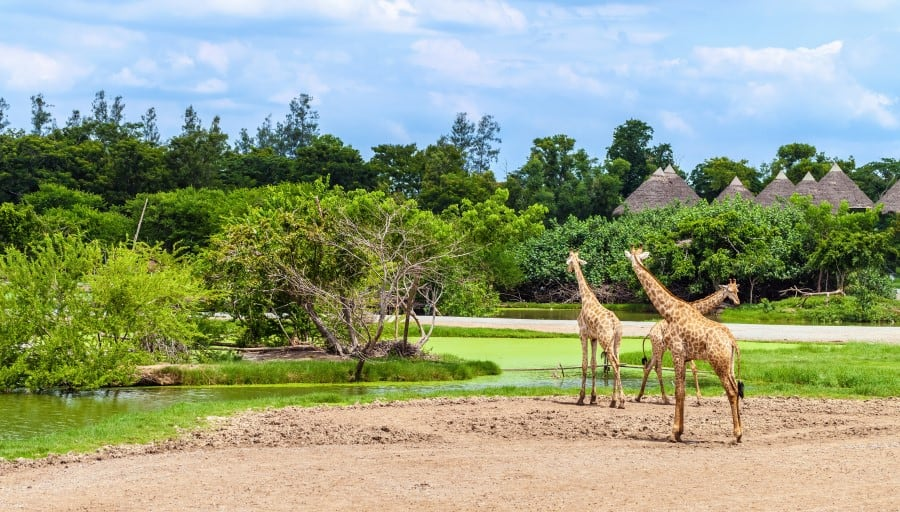 Жирафы в Сафари-парке в Бангкоке