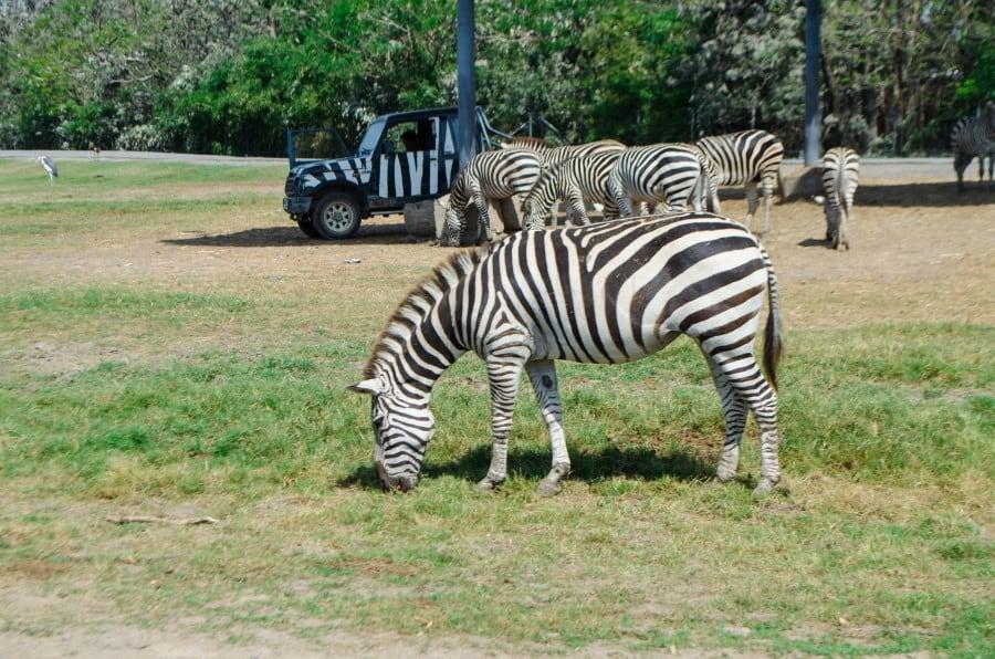Зебры в Сафари-парке в Бангкоке