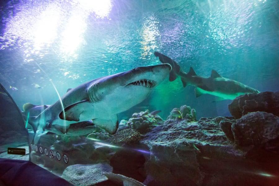 Хищные акулы в океанариуме Барселоны