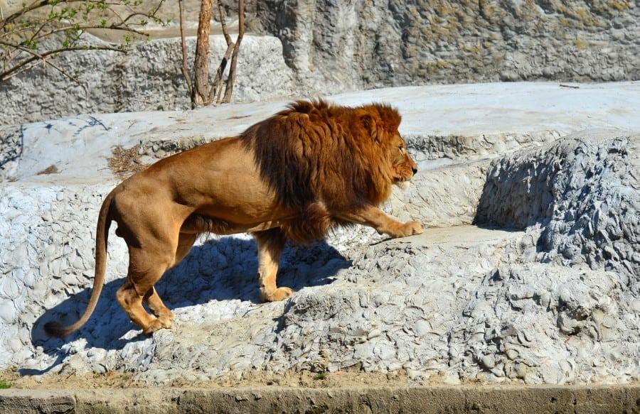 Лев в Варшавском зоопарке