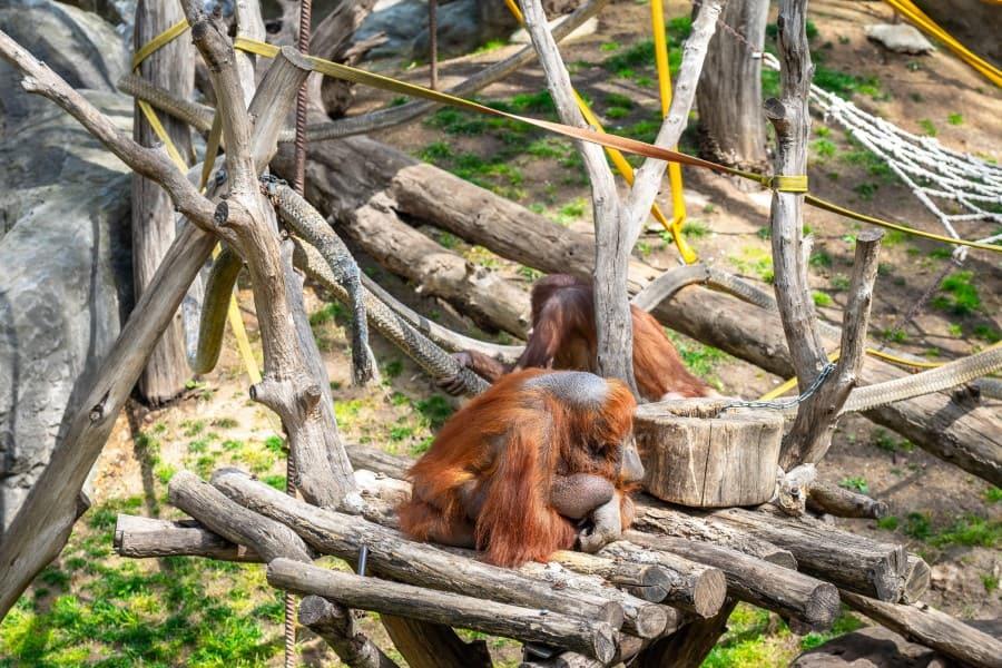 Орангутаны в зоопарке Барселоны