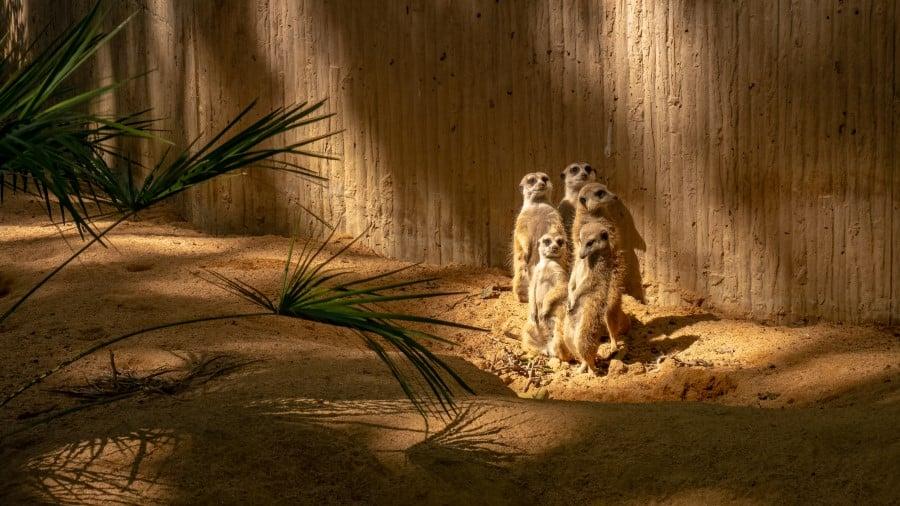 Сурикаты в зоопарке Барселоны