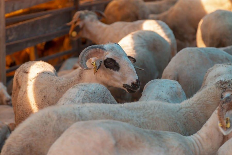 Загон с овцами в Стамбульском зоопарке